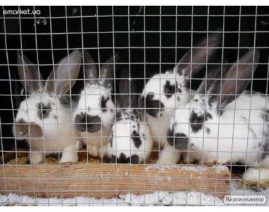 Продам кролів породи Метелик!
