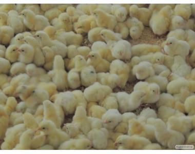 Реализация птицы: цыплята, утки, индюки.