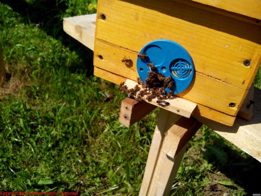 Бджоломатки Карпатської породи 2017.