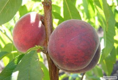 Саженцы персика ЕрлиКрест