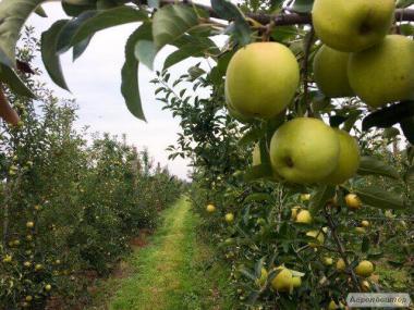 Яблука Голден Делішес, Гренні Сміт
