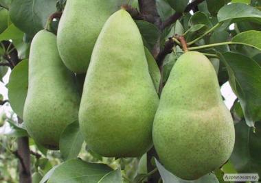 Саджанці груші сорти Амфора, від виробника