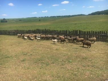 продам овцы романовская порода 75 голов