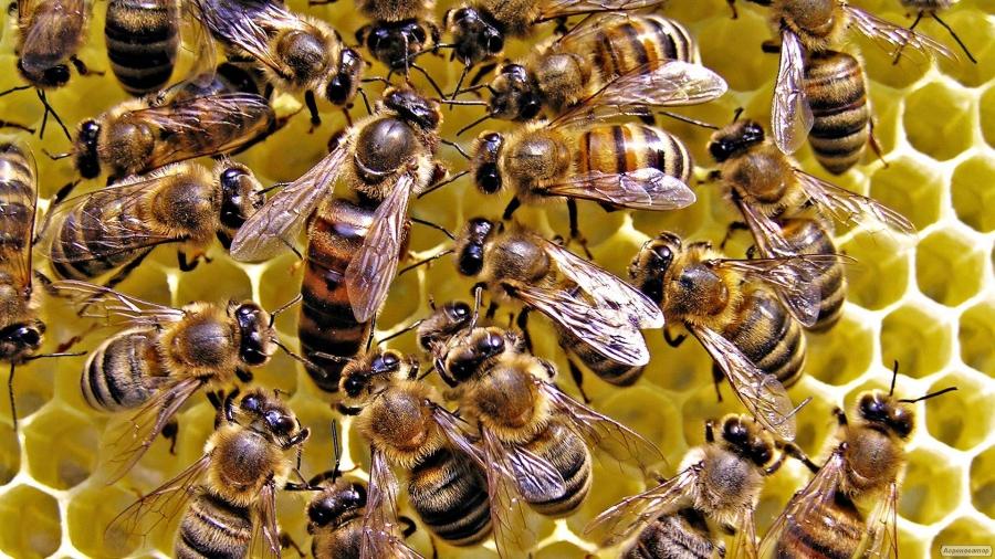 Бджолині сім'ї дадан, українка