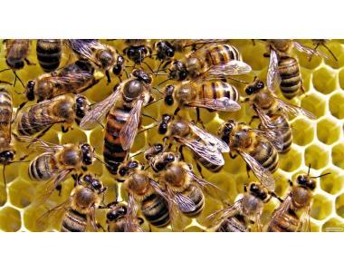 Пчелиные семьи, отводки