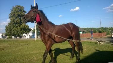 продам коня два з половиною роки