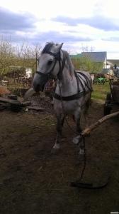 Продам молодую рабочую лошадь возраст шесть лет