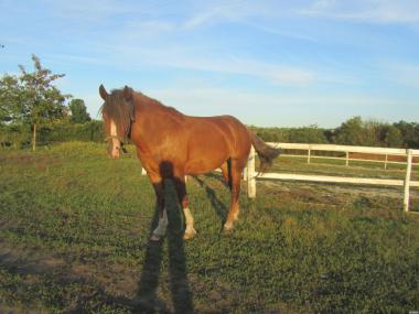 лошадь -тяжеловозного типа