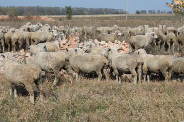 Продаються кітні вівцематки асканійської тонкорунної породи живою вагою