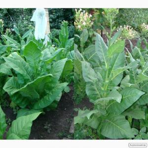 Табак- семена. донецк