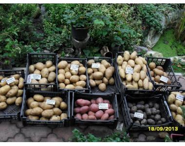 Суперранній посадкову картоплю-Киранда,Мінерва,Рів'єра,Лабелла,Лінк