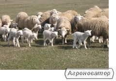 Овцы цигайской породы, молодняк, овцематки с ФХ