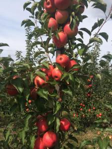 Продаж яблук: Голден, Ред Джонапринц, Чемпіон, Джонагоред Супра.