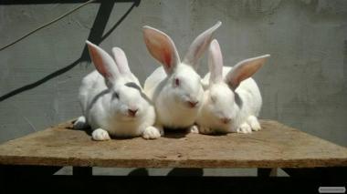 Кролики породы термонська белая