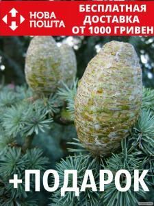 Кедр атласский семена 20 шт (Cédrus atlántica) для саженцев насіння