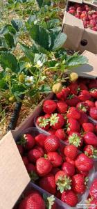 Продамо саджанці ремонтантого сорту полуниці.