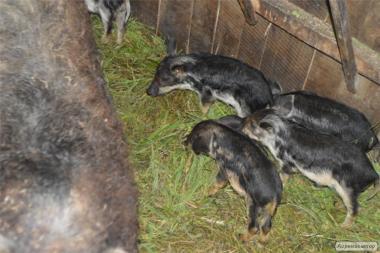 Продам свині , поросята породи Мангал