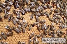 Продам бджолопакети і сім'ї з вуликами