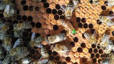 Плодная пчеломатка Карника (Австрийская селекция ACA)