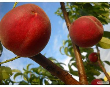 Саджанці персика сорти Даймонд Принцес, від виробника