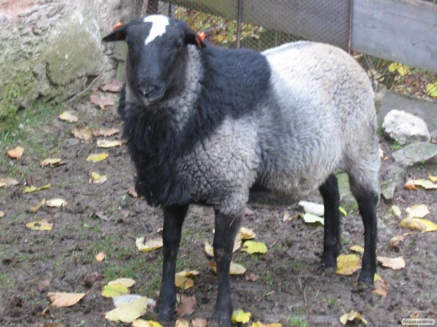 Продаем овец, породы Романовская