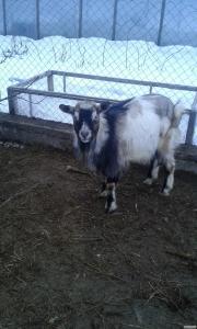 Продам козла.