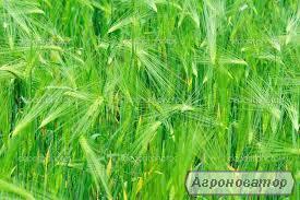 Насіння озимої пшениці: Донецька 48,Богиня,Антонівка,Місія