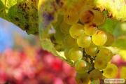 Мускат натуральне біле вино в роздріб та оптом