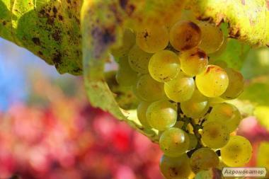 Шардоне натуральное белое вино в розницу и оптом