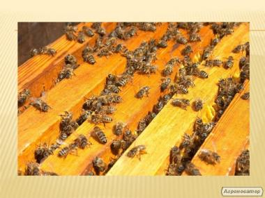 пчелопакеты 760 грн