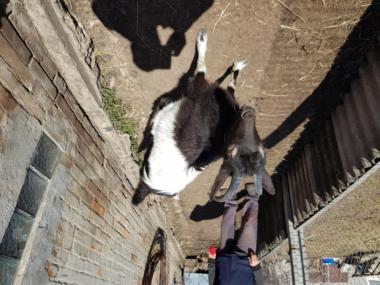 Продам сукозную козу и козлят