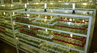 КЛОНАЛЬНОЕ МИКРОРАЗМНОЖЕНИЕ САЖЕНЦЕВ in vitro
