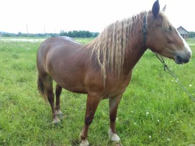 Продам коней ваговозів з документами
