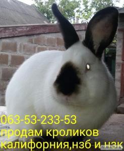 Кролики Калифорнийские(разных возрастов .две линии)