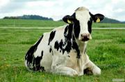 Куплю коней биків, корів, телиць