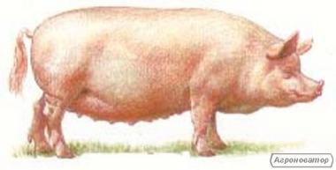 Свинина живой вес. Продам свинину живым весом.  Кривой Рог