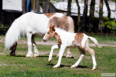 Продам великий вибір поні /міні поні/ американські карликові