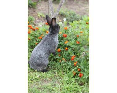 Племінні кролики Полтавське Срібло, Каліфорнійські,