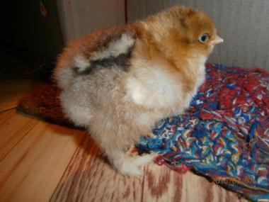 Инкубационные Яйца Куры Брама