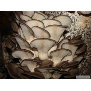 міцелій гливи гриби вирощування Черкаси