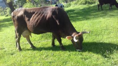 Продаються корови