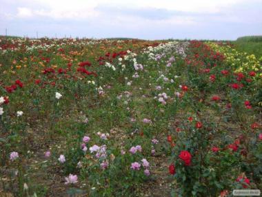 Саженцы роз 50 Сортов Кустовые Бордюрные Плетистые