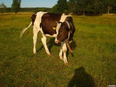продам корову после 2-го теленка