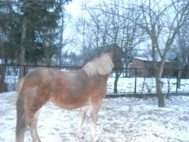ваговозна кобила
