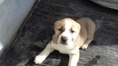 продам щенков САО 2 месяца