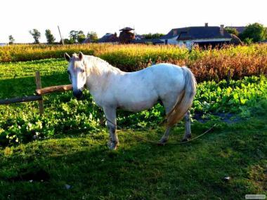 Продам рабочего коня