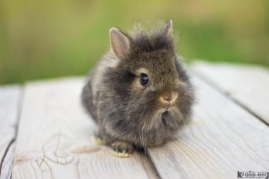 Декоративні кролики - Левова голова.
