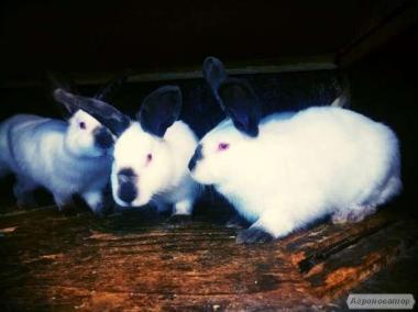 Продаю кролики породы калифорниец и полтавское серебро.