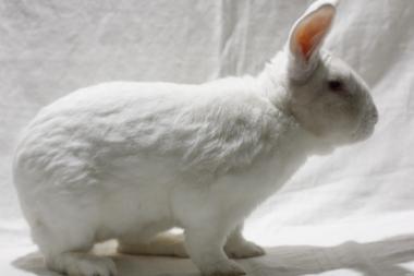 Термонський Белый кролики мясной породы
