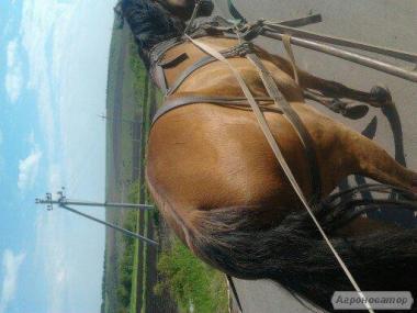 продам срочно рабочую лошадь